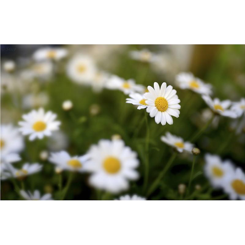 Primavera (Sisco)